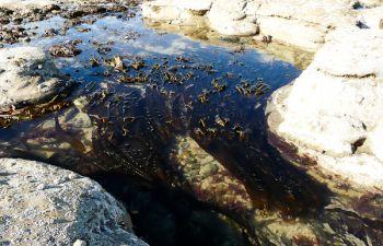 Balade et cueillette d'algues comestibles sur la Côte d'Opale