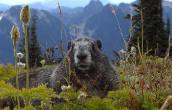 Balade à la découverte des marmottes