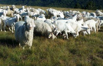 Visite d'un élevage de chèvre : tout savoir sur la production de mohair et de cachemire