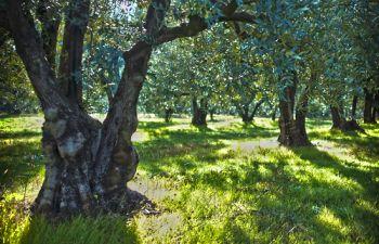 Les secrets de la fabrication de l'huile d'olive en Provence