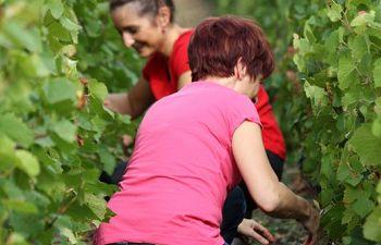 Initiation aux vendanges au cœur d'un vignoble de Champagne