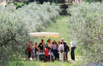 Visite d'une oliveraie à Mouriès, première commune oléicole Française